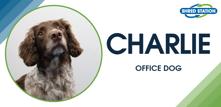 Image of Charlie (Springer Spaniel), Office Dog at Shred Station Ltd
